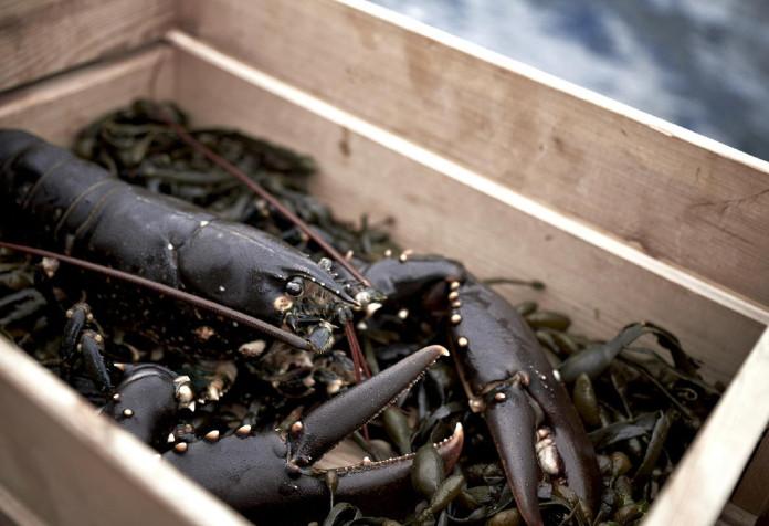 Nu är det dags för hummerfiske i Bohuslän